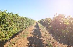 Виноградник с зрелыми виноградинами стоковое фото