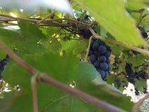 Виноградник с красными виноградинами стоковое изображение rf