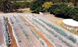 Виноградник с сетями птицы, Вейл McLaren Стоковое Фото