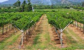 виноградник Таиланда Стоковая Фотография