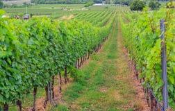 виноградник Таиланда Стоковое фото RF
