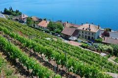 виноградник террас lavaux Стоковое Изображение RF