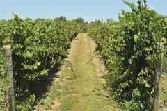 виноградник тропки Стоковое фото RF