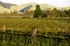 виноградник утра Стоковая Фотография