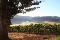 виноградник утра Стоковое Изображение RF