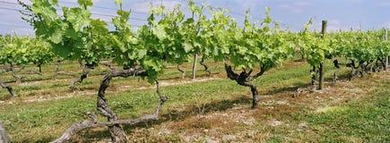 виноградник Франции конгяка панорамный Стоковое Изображение