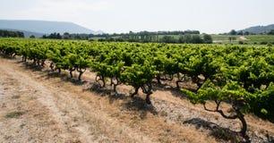 виноградник Франции Провансали Стоковое Изображение RF