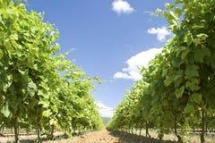 виноградник Франции Провансали Стоковая Фотография