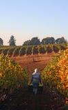 виноградник хлебоуборки Стоковые Фотографии RF