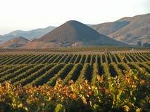 виноградник хлебоуборки Стоковое фото RF