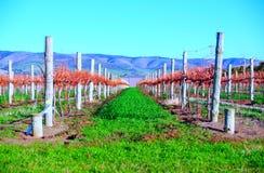 виноградник холмов осени Стоковое Фото