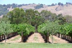 виноградник холмов Стоковое Фото