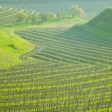 виноградник Чешской республики Стоковые Изображения RF