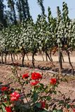 виноградник Чили Стоковое Изображение RF