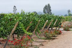 виноградник Чили Стоковая Фотография