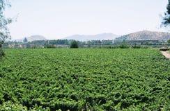 виноградник Чили Стоковое Фото