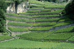 виноградник Швейцарии Стоковое Изображение
