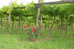 Виноградник шпалеры стоковые фото