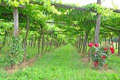 Виноградник шпалеры стоковое изображение