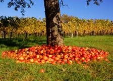 виноградник яблони Стоковые Изображения RF