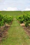 виноградник Стоковое Фото