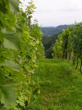 виноградник Стоковые Изображения