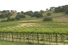виноградник 3 Стоковое фото RF