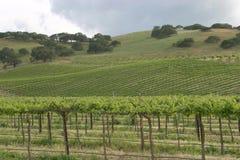 виноградник Стоковые Фото