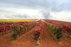 виноградник Стоковое Изображение