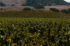 виноградник califonria Стоковые Фото