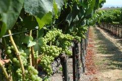 виноградник california стоковое изображение