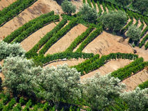 виноградник douro Стоковое Фото