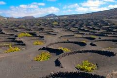 виноградник lanzarote острова типичный Стоковые Фото