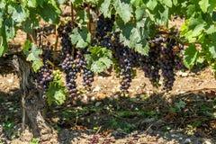 Виноградник Margaux, в зоне Medoc, близко Бордо в Франции Стоковые Изображения