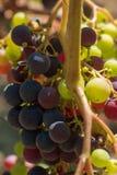 Виноградник Margaux, в зоне Medoc, близко Бордо в Франции Стоковая Фотография