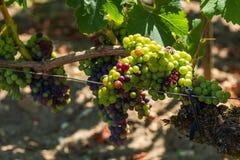 Виноградник Margaux, в зоне Medoc, близко Бордо в Франции Стоковое Изображение