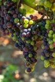 Виноградник Margaux, в зоне Medoc, близко Бордо в Франции Стоковая Фотография RF