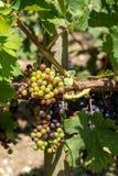 Виноградник Margaux, в зоне Medoc, близко Бордо в Франции Стоковые Фотографии RF