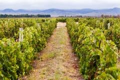 виноградник mendoza Аргентины Стоковая Фотография