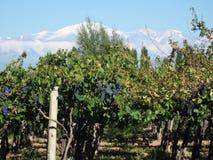 виноградник mendoza Аргентины Стоковые Фото