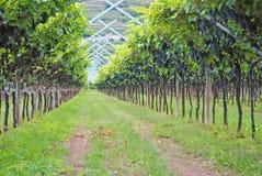 виноградник merlot Стоковые Изображения