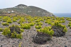 виноградник santorini стоковые изображения rf