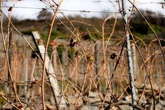 Виноградник Thann в осени стоковые фото