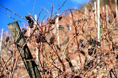Виноградник Thann в осени стоковые фотографии rf