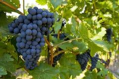виноградник velke zernoseky Стоковое Изображение RF