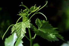 виноградное вино ветви Стоковое фото RF