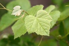 виноградное вино ветви Стоковые Изображения RF