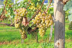 Виноградное вино в осени Стоковое Изображение
