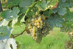 Виноградное вино готовое для сбора Стоковое фото RF