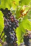 виноградное вино осени Стоковая Фотография RF